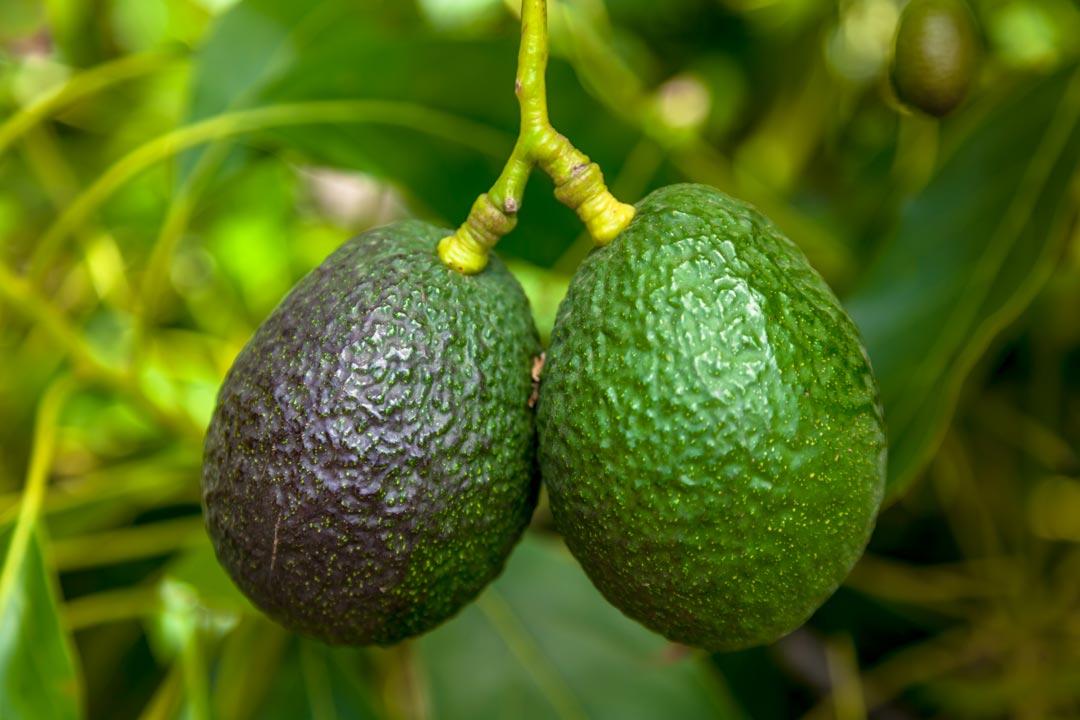 avocado wie stelle ich fest dass sie wirklich reif ist. Black Bedroom Furniture Sets. Home Design Ideas
