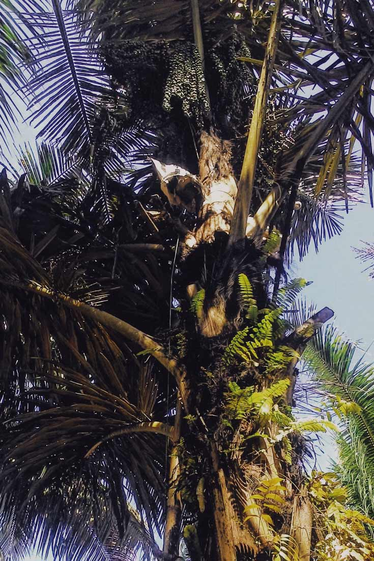 palmzucker verwendung, palmzucker kokosblütenzucker unterschied, palmzucker glykämischer index, palmzucker kaufen, palmzucker vorteile, palmzucker herstellung